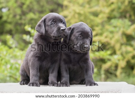 Cute black Labrador Retriever puppies sitting - stock photo