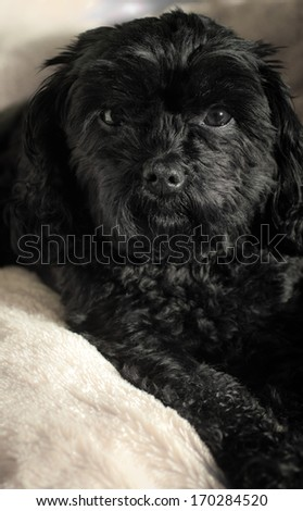 Cute black pet dog. Cavalier King Charles crossed with Poodle known as a Cavoodle or Cavapoo. - stock photo