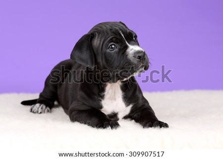 Cute black puppy American Pit Bull Terrier