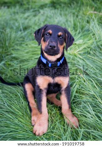 Cute Black Puppy on Green Grass Outside - stock photo