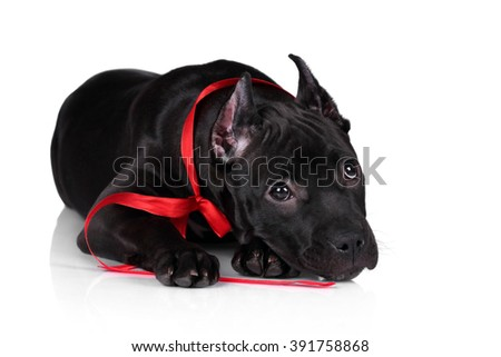 Cute black puppy with red ribbon on a white background