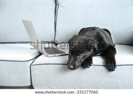 Cute black retriever on white sofa, close up - stock photo