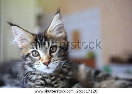 Cute Black tabby color Maine coon kitten - stock photo