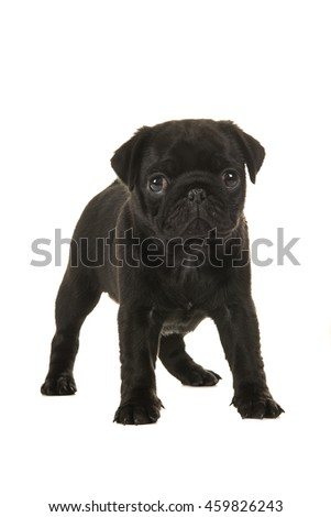 Cute black 6 weeks old pug puppy standing facing the camera isolated on a white background