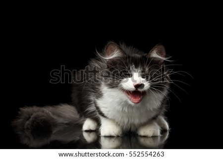 Cute Black with white Siberian Cat with spot on nose sitting with opened mouth, meowing isolated black background with reflection, front view