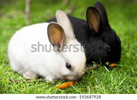 Cute bllack and white rabbit babies eating carrots - stock photo