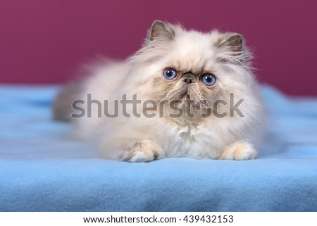 Cute blue-cream colorpoint persian kitten is lying on a blue bedspread in front of a purple wall background