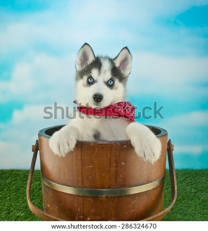 Cute blue eyed Husky puppy standing in a bucket outdoors, with a blue sky behind him, along with copy space.