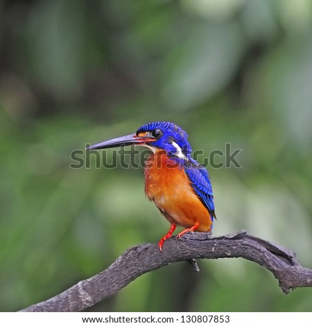 Cute blue Kingfisher, male Blue-eared Kingfisher (Alcedo meninting) sitting on a branch