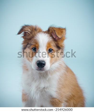 cute border collie puppy - stock photo
