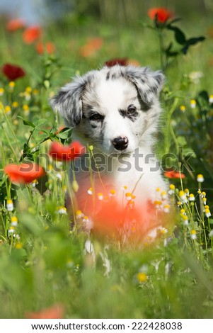 Cute Border Collie puppy posing in a red poppy  - stock photo