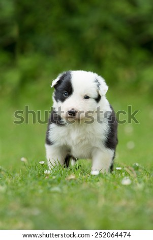 Cute Border Collie puppy posing in the garden - stock photo