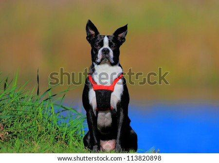 cute boston terrier - stock photo