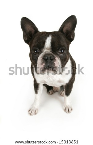 cute boston terrier puppy on white - stock photo