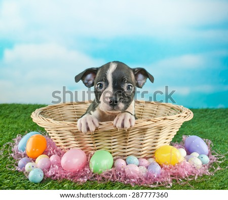 Cute Boston Terrier puppy sitting in an Easter basket with Easter eggs and candy around her, with copy space.