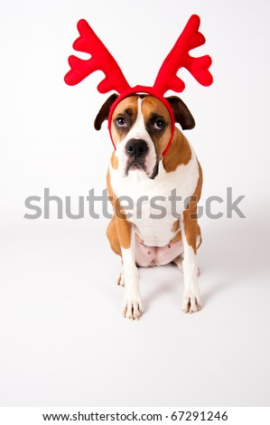 Cute Boxer Mix Female Dog Wearing Christmas Reindeer Antlers on White Background