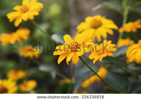 cute bright yellow coreopsis flowers in a garden  - stock photo