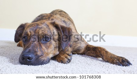 Cute brindled puppy lying on the floor