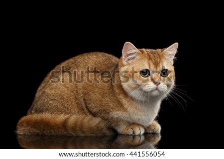 Cute British breed Cat Gold Chinchilla color Lying and Sadly Looks, Isolated Black Background, side view - stock photo
