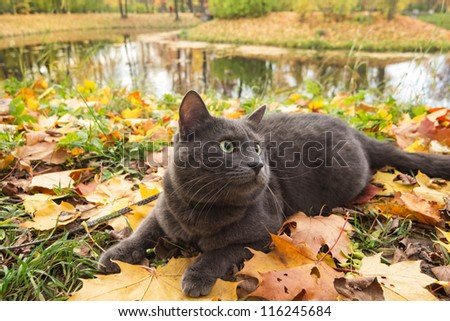 cute british cat outdoor in harness - stock photo