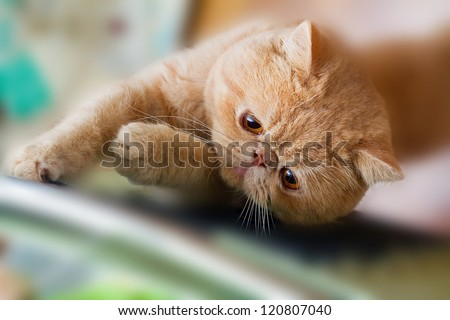 Cute British CPA garfield cat seriously scratching a chair - stock photo