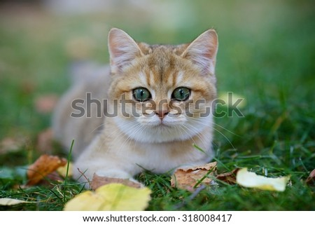 Cute British Golden shaded kitten lying on the grass beside autumn leaves