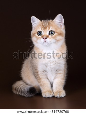 Cute British kitten golden color on a brown background