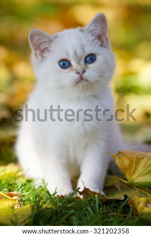 Cute British kitten with blue eyes sitting in autumn fallen yellow foliage - stock photo