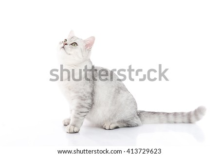Cute  British Shorthair kitten sitting and looking on white background isolated
