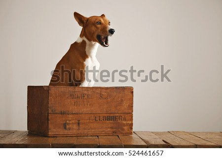 Cute brown and white basenji dog talking as he sits in a vintage wooden box isolated on white