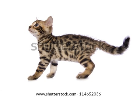 Cute brown Bengal kitten looking up sideview isolated on white background