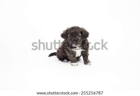 Cute Brown Brindle and White Puppy on White Background