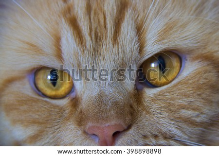 Cute brown cat pet eye close up isolated, adorable kitten looking at camera. furry mammal isolated on white background - stock photo