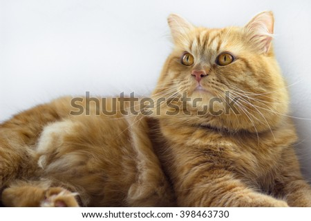 Cute brown cat pet sitting, adorable kitten looking at camera. furry mammal isolated on white background, portrait shot full body cat - stock photo
