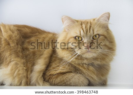 Cute brown cat pet sitting, adorable kitten looking at camera. furry mammal isolated on white background, medium close up cat portrait - stock photo