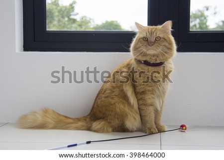 Cute brown cat pet sitting, adorable kitten looking at camera. furry mammal isolated on white background, long shot full body cat - stock photo
