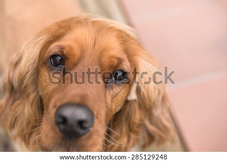 Cute brown cocker spaniel looking at camera  Headshot of beautiful dog eye focussed - stock photo