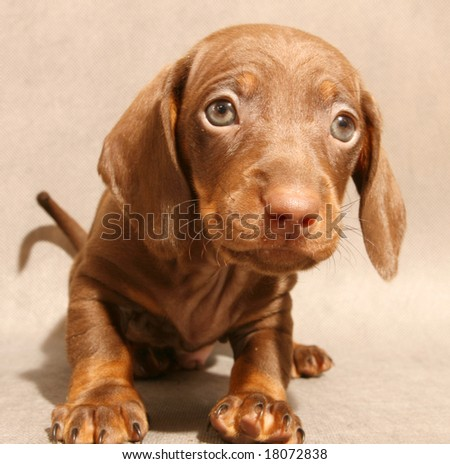 cute brown dachshund  puppy on grey ground - stock photo