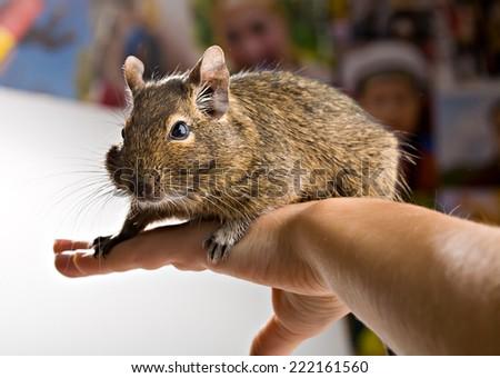 cute brown degu pet sitting on hand - stock photo