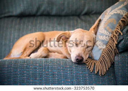 Cute brown dog lying in bed - stock photo