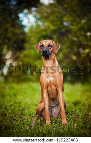 cute brown dog Ridgeback sitting on the grass in summer - stock photo