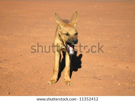Cute brown doggy yawning in front of a camera. Northern Territory, Australia - stock photo