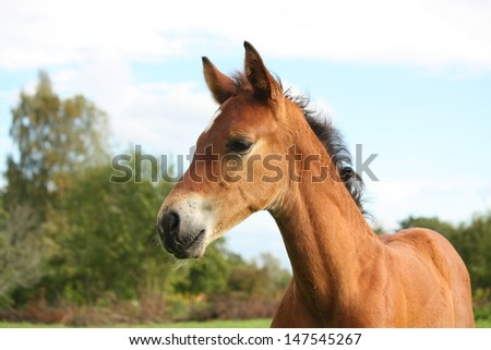 Cute brown foal portrait in summer at the pasture