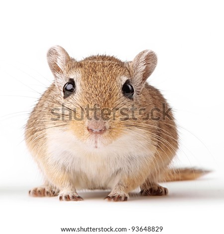cute brown gerbil portrait isolated on white background - stock photo