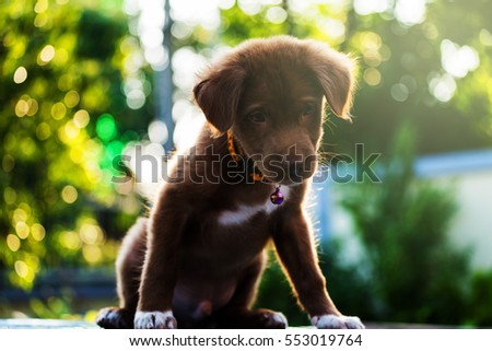 Cute Brown labrador retriever puppy dog against sunset light and bokeh yard background