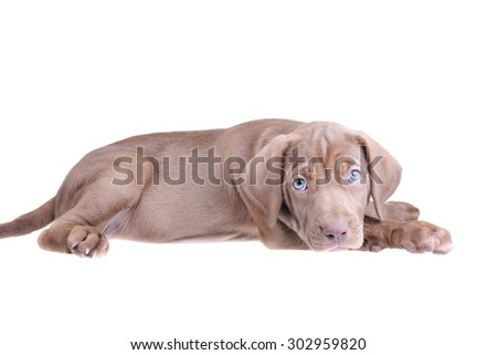 Cute brown pup laying down isolated on a white background