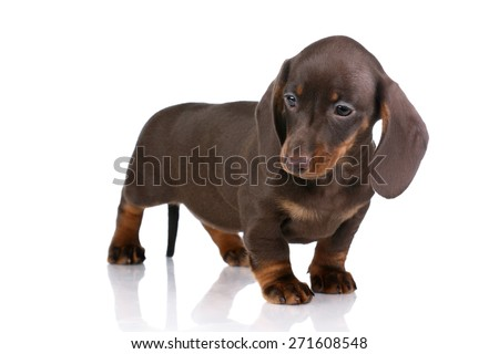 Cute brown puppy dachshund standing on a white background, looking down - stock photo