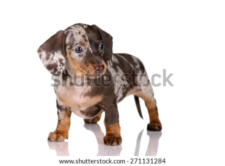 Cute brown puppy standing on a white background - stock photo