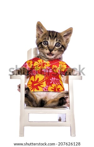 Cute brown tabby kitten sitting in white beach chair wearing colorful Hawaiian shirt isolated on white background