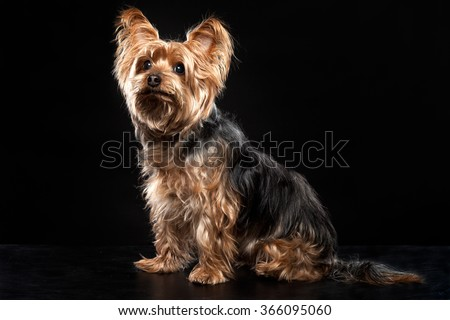 Cute Brown Yorkie Silky Mutt Obeying - stock photo